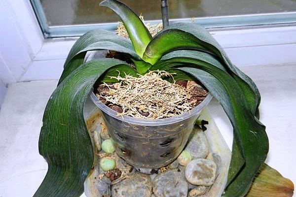 листья у орхидеи вянут после пересадки