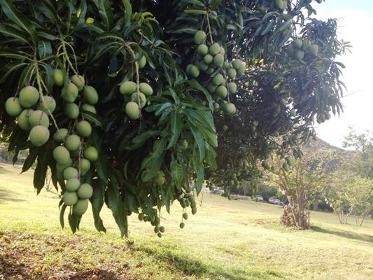 дерево манго в природных условиях