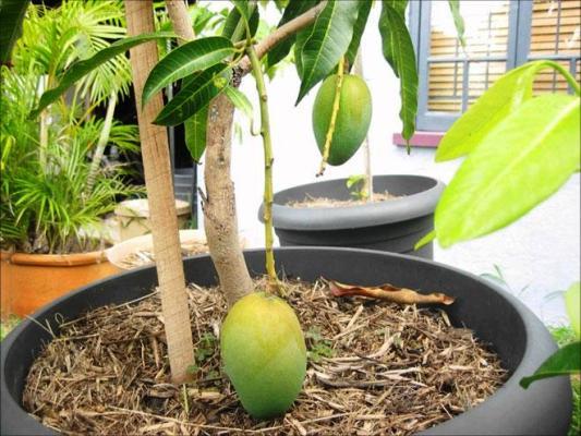 манго выращивание в домашних условиях