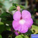 ахименес фото выращивание
