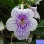 цветок ахименес фото