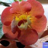 ахименес фото цветка