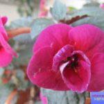 ахименес фото цветов