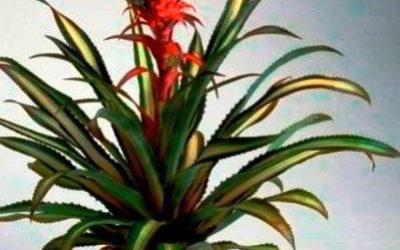Ананас крупнохохолковый — комнатное растение выращивание и уход