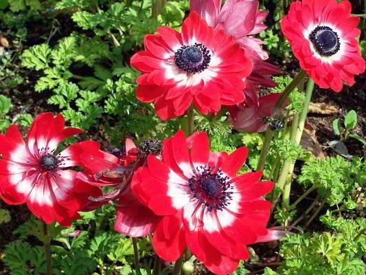 Цветок анемоны посадка уход