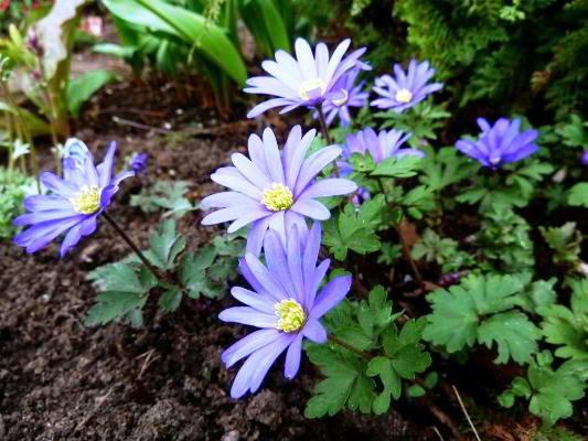 анемоны цветы