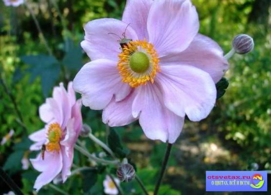 цветы на клумбу неприхотливые