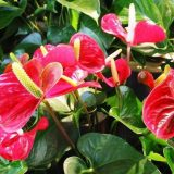 цветы комнатные цветущие фото и названия антуриум