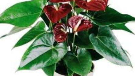 Антуриум по фен шуй в доме, что значит, куда поставить цветок правильно
