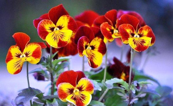 анютины глазки посев, выращивание и уход