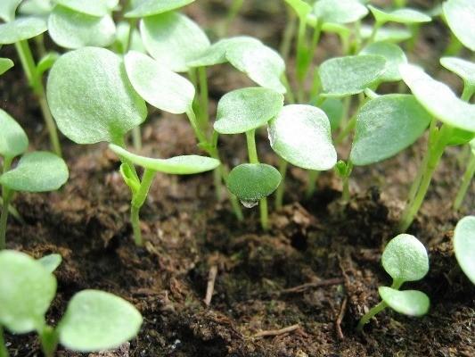 анютины глазки выращивание из семян в домашних условиях