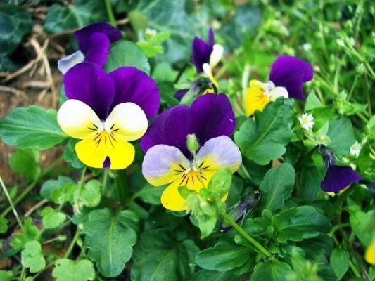 анютины глазки цветы выращивание из семян