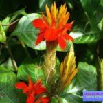 цветы афеландра фото