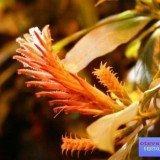 цветок афеландра фото