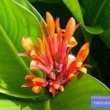 цветок афеландра фото уход