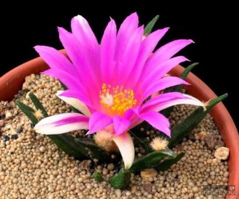 кактусы виды фото с названиями не цветущие