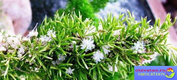 аспарагус густоцветковый фото