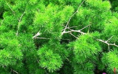 цветок аспарагус фото