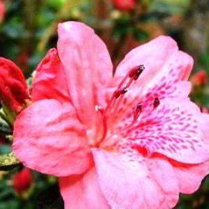 Азалия садовая: посадка и уход в открытом грунте, фото
