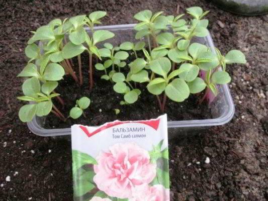 бальзамин садовый выращивание из семян
