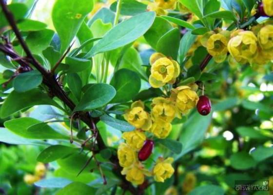 живая изгородь быстрорастущая многолетняя вечнозеленая на урале