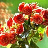 цветы комнатные цветущие фото и названия бегония