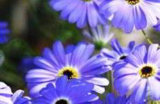 Брахикома: выращивание из семян когда сажать и как сеять в открытый грунт