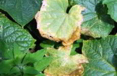Огурцы: желтеют листья — что делать, народные средства, рецепты