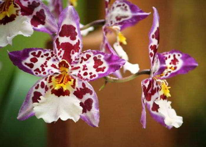 орхидея камбрия уход в домашних условиях фото пересадка