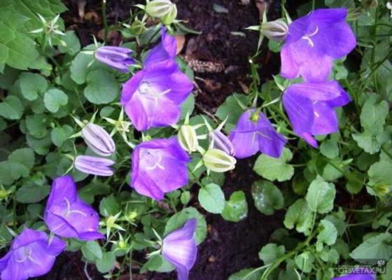 какие цветы сажают осенью на даче для цветения весной и летом фото