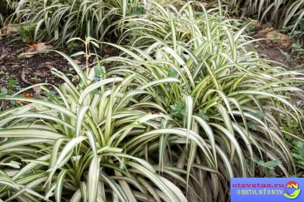 хлорофитум уход в домашних условиях зимой