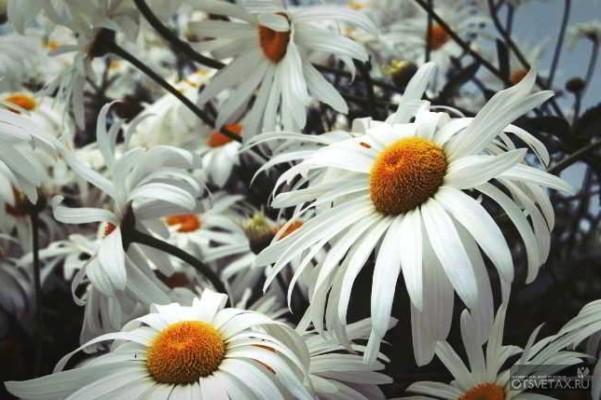 хризантема в горшке уход в домашних условиях не цветет