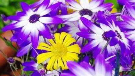 Цинерария серебристая: когда сеять семена, посадка и уход, фото, сорта