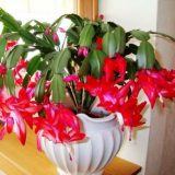 домашние цветы фото декабрист