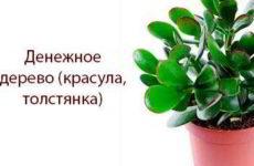 Денежное дерево — лечебные свойства и противопоказания, рецепты