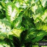 Диффенбахия цветок фото