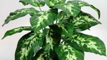Как выглядит на фото цветок диффенбахия