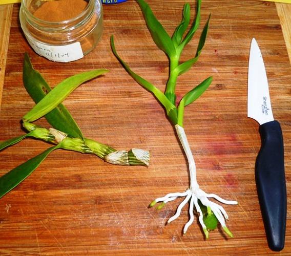 орхидея дендробиум уход размножение