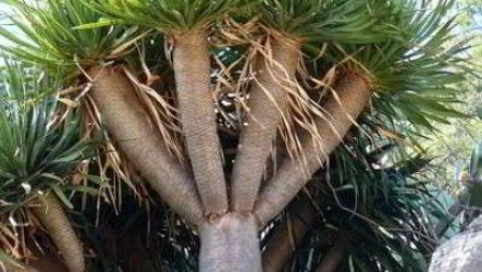 Драцена: где родина комнатного растения, состав почвы