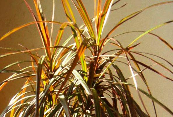 драцена желтеют листья