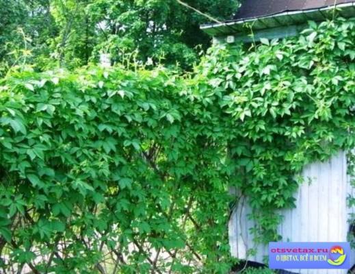 вьющиеся растения для забора быстрорастущие однолетние
