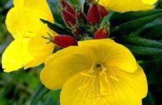 Энотера многолетняя: посадка семенами, рассадой, фото и уход