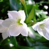 цветы комнатные цветущие фото и названия одногодки