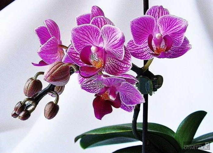 орхидея уход в домашних условиях фото разновидности