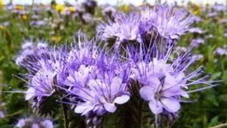 Фацелия как сидерат, когда сеять, как выращивать, собирать семена