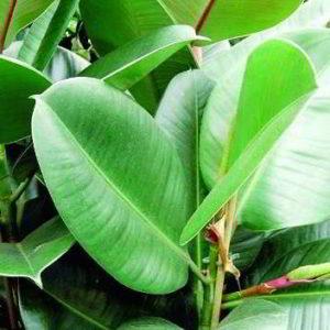 Фикус: размножение в домашних условиях различных видов, пошаговая инструкция