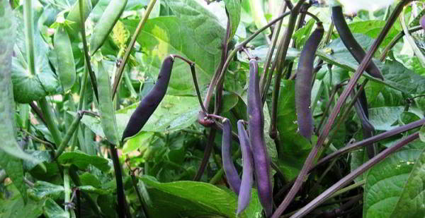 фиолетовая фасоль сорт