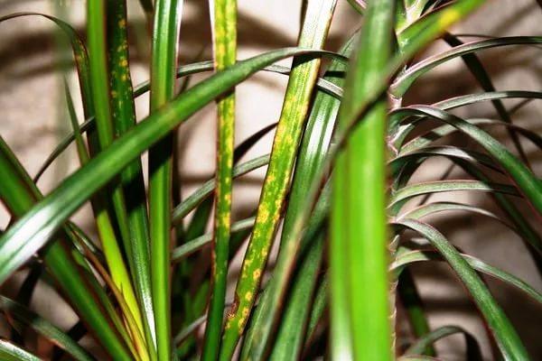 желтеют листья у драцены что делать