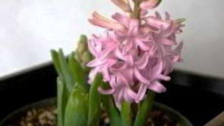 Гиацинт: посадка и уход в домашних условиях после цветения, к 8 марта
