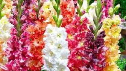 Садовые цветы гладиолусы